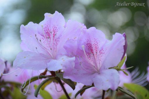 019-ツツジ-紫琉球