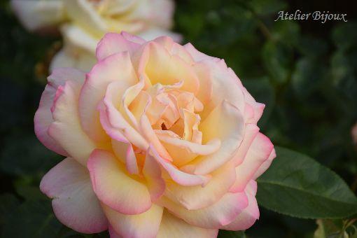 013-薔薇