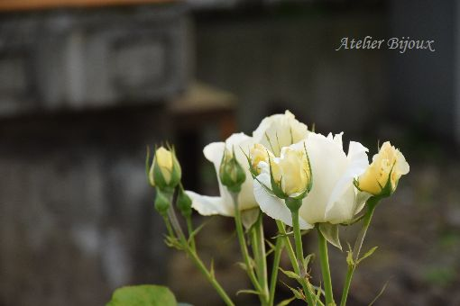 021-薔薇