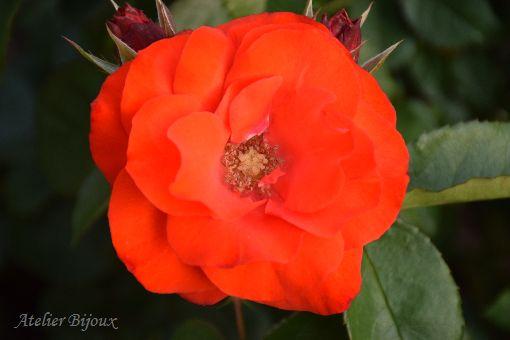 016-薔薇