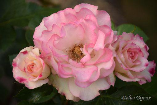 036-薔薇