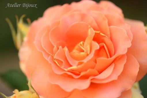 078-薔薇