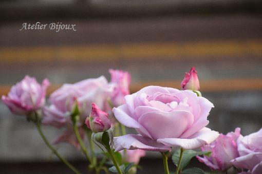 052-薔薇