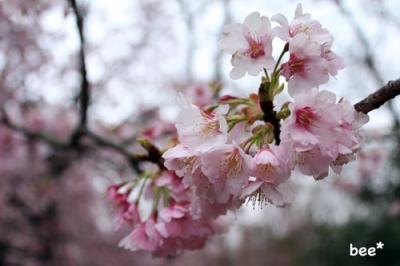 伊豆の桜2