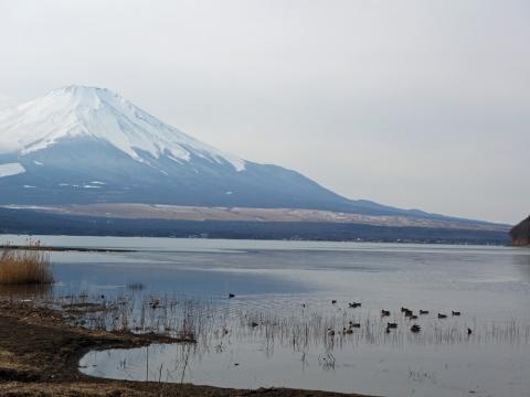 17山中湖の渡り鳥