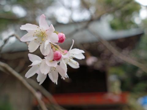 06十月桜