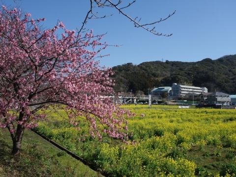 06川津桜と菜の花