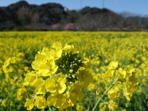 07川津桜と菜の花