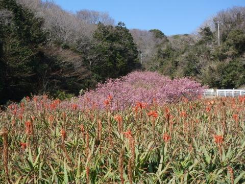 21アロエと河津桜