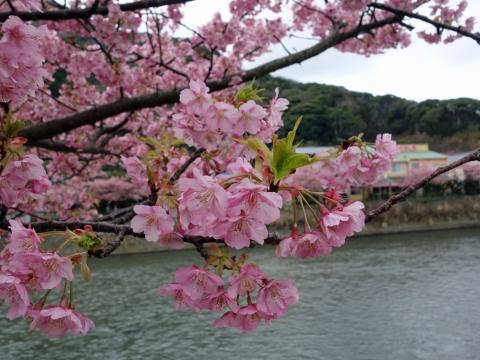 07河津桜