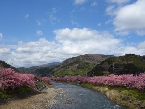 14河津桜