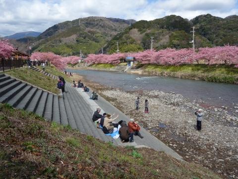 16河津桜
