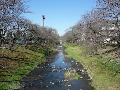 04根川緑道のソメイヨシノ