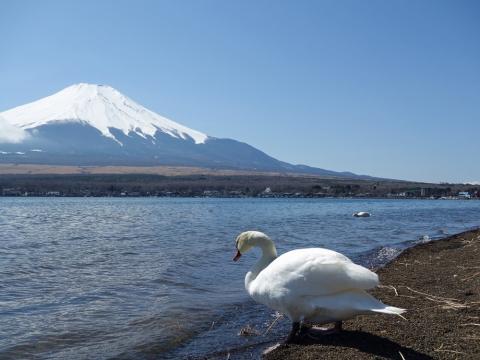 12山中湖 白鳥