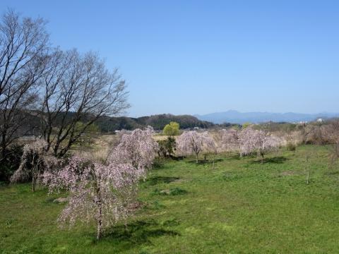 18多摩川福生枝垂桜