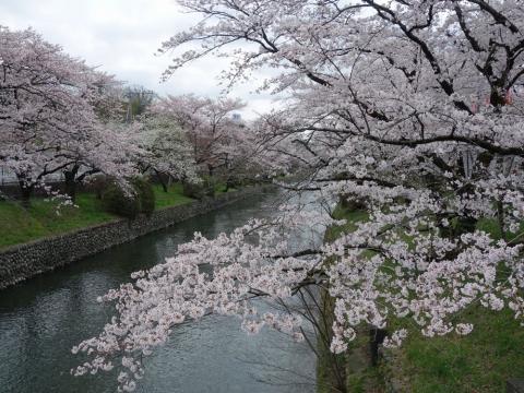 08羽村取水堰の桜