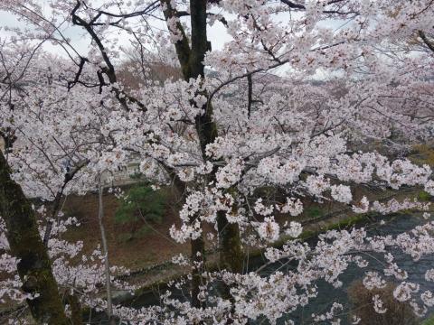 09羽村取水堰の桜