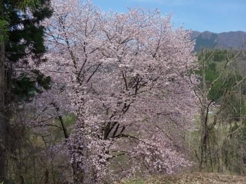 17裾花渓谷の桜