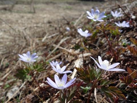 49白馬村すみれ色の花