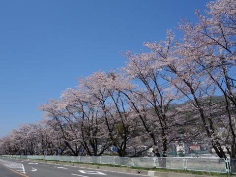 15吾妻線沿いの桜並木