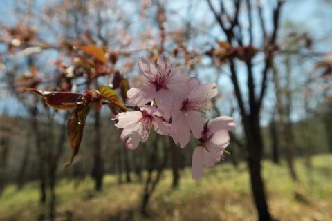 34小田代ヶ原:桜