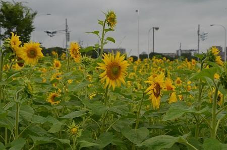 20150707北総花の丘公園ドッグラン42