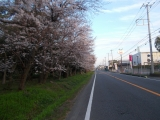 桜並木を走る