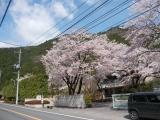 沿道の満開の桜
