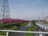 早川沿いの花桃の木々