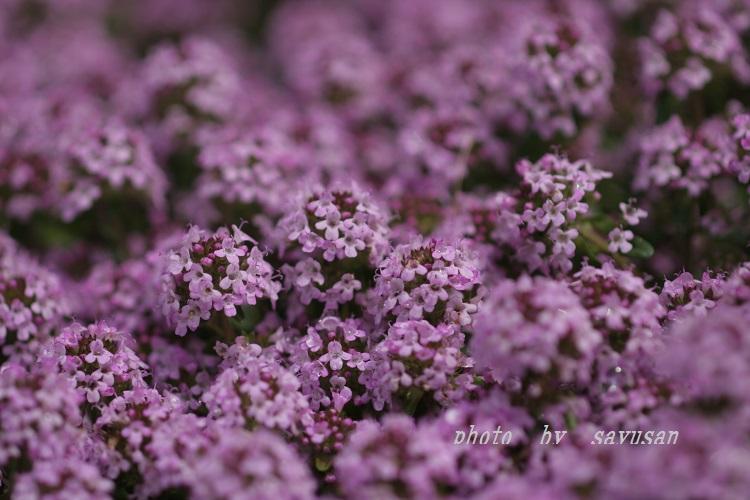 09-5-30 高山植物 019-01