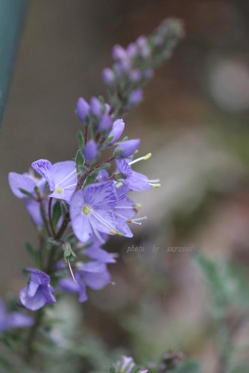09-5-30 高山植物 018-01