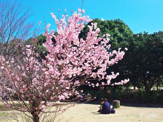 P3170178ハルメキ桜s