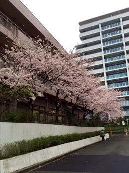 0401sakura.jpg