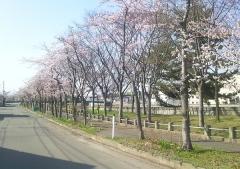 桜歩き4-19 (3)_600