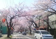 桜歩き4-19 (8)_600