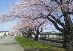 桜歩き4-19 (11)_600