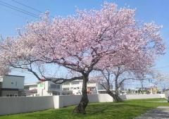 桜歩き4-19 (12)_600