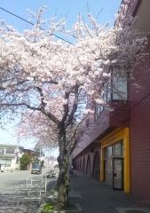 桜歩き4-19 (14)_600