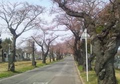 桜歩き4-19 (15)_600