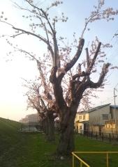 剪定桜 (2)_600
