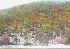 桜並木ノル (10)_600