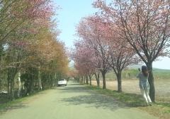桜並木ノル(13) _600