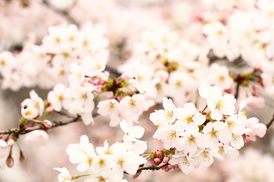 a_CherryBlossom.jpg