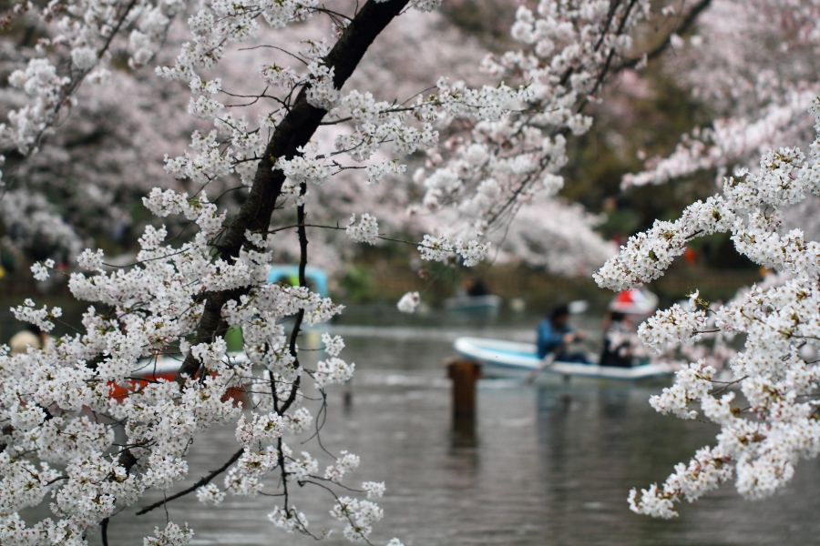 a_Sakura_Bentenike.jpg