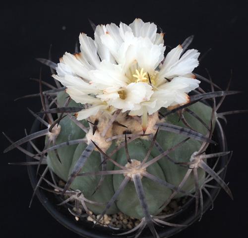 白花ニコリー2015