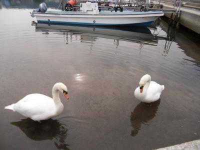 swans(2