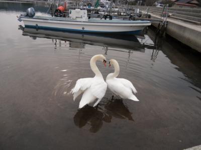swans(3