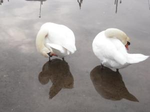 swans(4