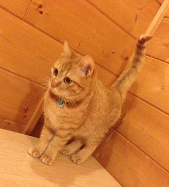 服部寿町の迷子猫『はちちゃん』