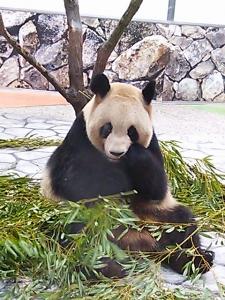 panda_eat2.jpg